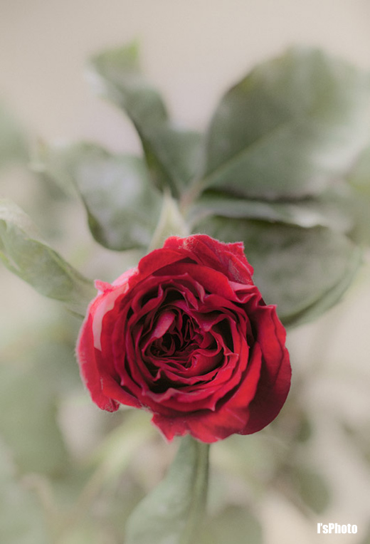 20120430-BloomRose.jpg